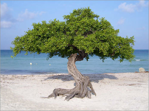 Divi tree on Eagle Beach in Aruba in October 2008.