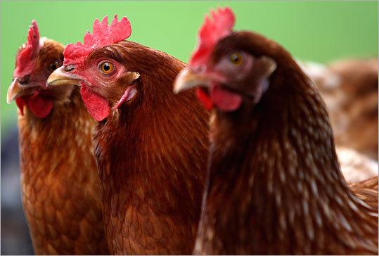 Layer Hens at Green Meadows Farm