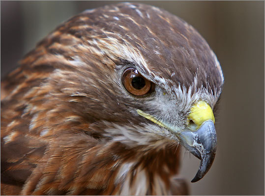 A red-tailed hawk at the Norman Bird Sanctuary