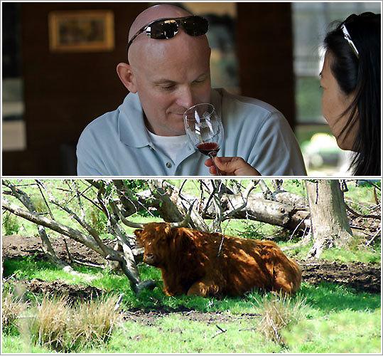 Greenvale Vineyards; Scottish Highland Steer