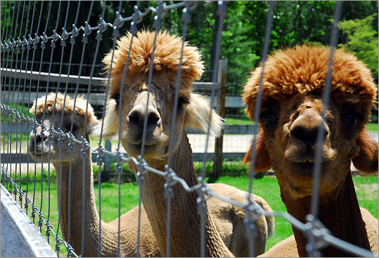 Visitors always provoke curiosity from the resident alpacas at Shadow Pines Farm in Exeter.
