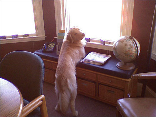 Casey, a 1½-year-old Golden Retriever, peeks out of the bay window in the office conference room of David Sturm's office in Milford, N.H. 'He likes to prop himself up on his elbows on the window seat and watch the world outside,' Sturm writes.