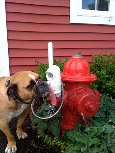 Hydrant, which is the name of this an old English bulldog, meets and greets contractors at Bay State Water in Littleton. 'She takes several water breaks using her own custom fountain fire hydrant,' wites photo submitter Nicole Correnti.