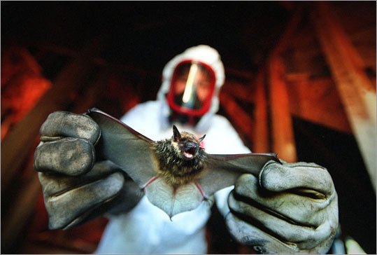 Gary Paduch of Gary's Wildlife Services holds a large brown bat. The bat was later released unharmed.