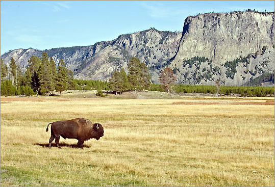 A bison in Yellowstone National Park .