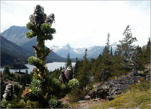 A fir tree at St. Mary's Lake in Glacier National Park in Montana.