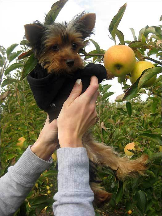 Madison and her first apple picking trip