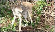 High-tech tracking tool keeps watch on coyotes