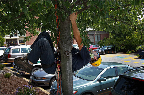 A USDA member hung from a tree in a parking lot looking for the insect.