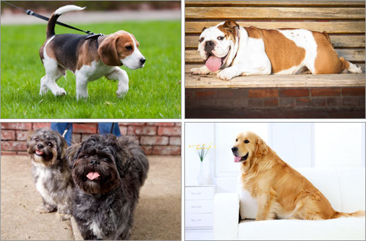 The American Kennel Club announced its nationwide registration statistics, revealing that for the 20th consecutive year, the Labrador retriever is the most popular breed in America. This year&#146;s list included some shakeups in the top 10. Click through to see the AKC's most-registered dog breeds, and how they've changed in ranking over the past decade.