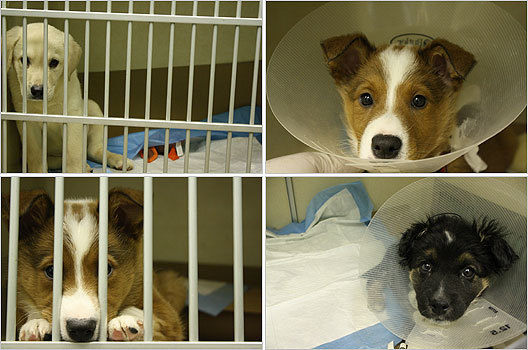 Puppies with parvovirus were surrendered to the MSPCA-Boston and quarantined at Angell Animal Medical Center.