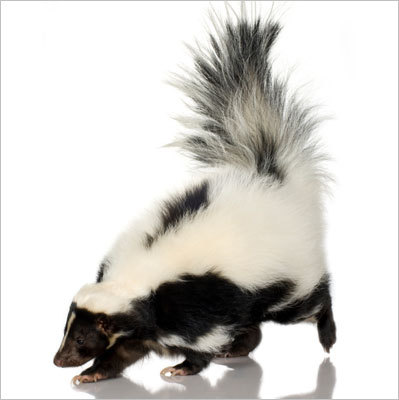 How annoying is the smell of a skunk?