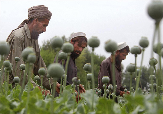 Afghan workers cut open poppy bulbs, the first stage in the harvesting process, in Jalalabad.