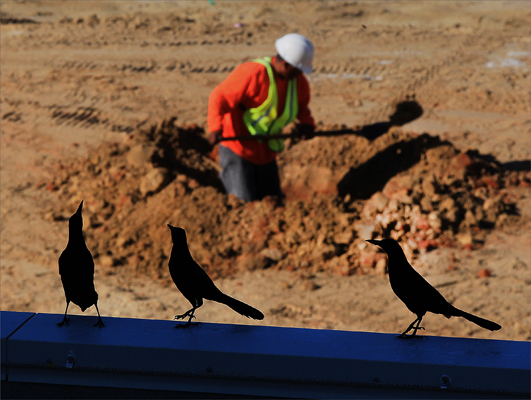 Birds watched workers dig holes for plam trees outside the park.
