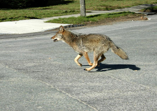 As residents of nearby towns ponder how to get rid of their coyote populations, animal control officer John Maguranis is busy trying to save Belmont's. 'Coyotes aren't the big bad wolves,' he said. A coyote who likely violated Belmont's jaywalking code.