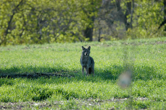 'The great thing about coyotes,' said Maguranis, 'it's Mother Nature's way of saying, 'Hey, you started this, and we're not going away, so you gotta deal with it.'' A member of one of the two or three Belmont coyote families.