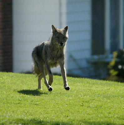 The urban coyote is a human creation, said Maguranis. Humans devastated the wolf population in America, and without this natural predator, the coyote population exploded. They're now moving into cities and towns as their natural habitat is lost to development. A coyote cutting through the yard has become a common sight in Belmont and other towns.