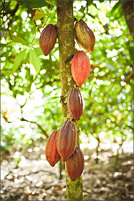 Growth The whole process starts with Theobroma trees. These small evergreen plants are grown in an area chocolate aficionados call the 'Cocoa Belt,' the range of land 20 degrees north and south of the equator. They are more commonly called cacao trees, since they produce the seeds that eventually become chocolate. Most of Taza's cacao is grown in the Dominican Republic, but it also comes from Bolivia. The cacao beans are contained in pods that grow right off the trunk.