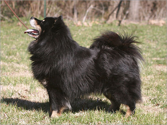 The Finnish Lapphund is also new to the Westminster scene this year. It is a reindeer herding dog from the northern parts of Scandinavia. The breed is thought to have existed for hundreds, if not thousands, of years as the helper dog of the native tribes.They are devoted to their family, friendly with all people, highly intelligent, and eager to learn. This dog will also be judged with the herding group.