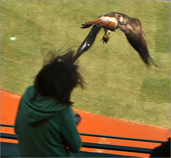 A hawk swooped down on a student touring Fenway Park today. The girl was not seriously hurt, according to the Red Sox.