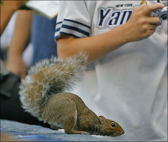 Before the start of the first game of the three game series between the Red Sox and the Yankees, as a waitress takes an order from a front row fan, a rouge squirrel appeared on the wall, which drew a gasp from a young Yankees' fan.