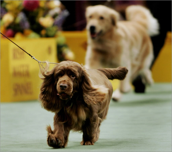 Stump, a Sussex Spaniel, runs with its handler during the Sporting Group judging at the 2009 Westminster Dog Show in New York February 10, 2009.