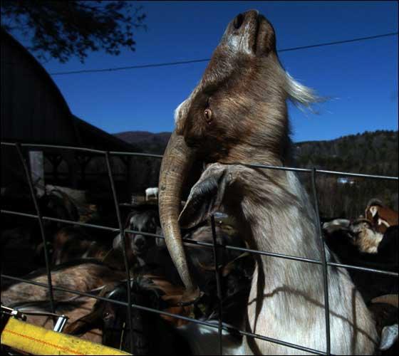 goats10_bg_BDD.jpg