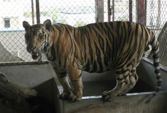 A juvenile tiger stands in its enclosure on the roof top of an apartment building in Pathum Thani proivince, central Thailand Monday, Sept. 10, 2012. A Thai man has been arrested for illegally raising six tigers on the rooftop of an apartment building on Bangkok's outskirts, in a follow-up bust of a larger tiger trafficking ring in the country.
