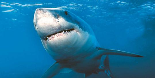Great white sharks are lone animals that travel 30 to 50 miles a day. They can go up to a couple of months between feedings.