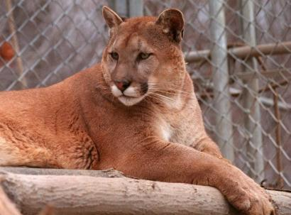 An animal resembling a mountain lion was seen in Westford Thursday. The one above was photographed in Ipswich in 1997.