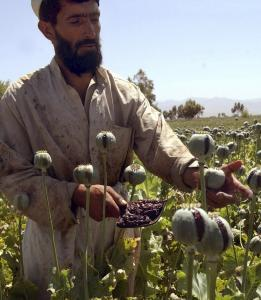 An Afghan farmer collected resin from poppies on an opium poppy field in Bati Kot district of Nangarhar province, east of Kabul. Afghanistan's opium production is rising.