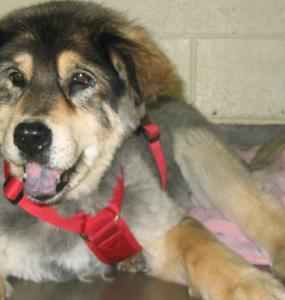Thirteen-year-old chow-husky mix Sunny, who spent most of her life tied to a tree, was adopted by veterinarian Gregg Rapoport.
