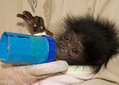 Mali, a one-month-old, endangered bonobo, is fed last week by caretakers at the San Diego Zoo. Born on Sept. 4 in critical condition, the baby bonobo, an ape related to chimpanzees, is reportedly progressing nicely - growing, eating, and gaining weight.