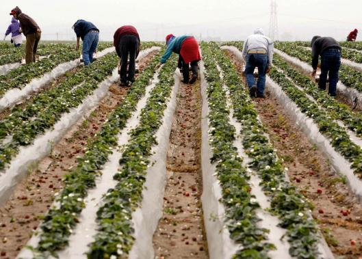 Workers in a strawberry field in California. In 'Nobodies,' John Bowe examines how 'free people benefit from slave labor.'