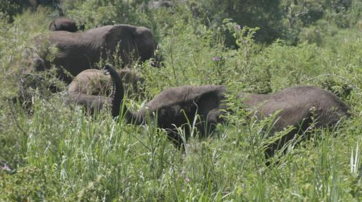 Elephants grazed at the Opekoloe Island in the White Nile river last month. The reappearance of the majestic animals is one of the greatest symbols of southern Sudanese hopes for peace.