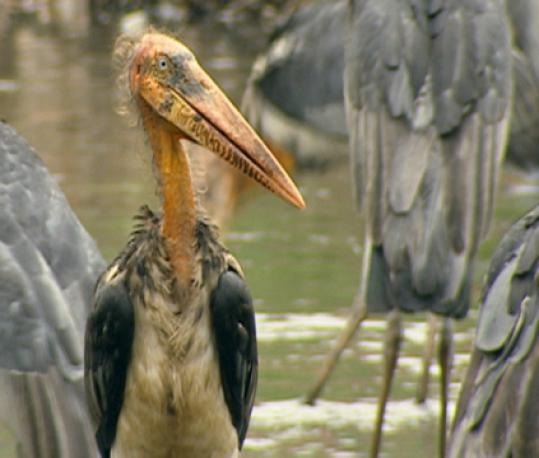 Greater adjutant storks to be featured on 'Nature' episode.