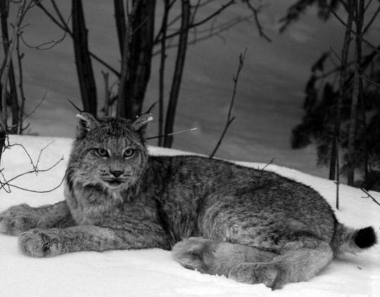 In northern Maine, Canada lynx - short-tailed, long-legged wildcats - depend on snowshoe hare for sustenance.