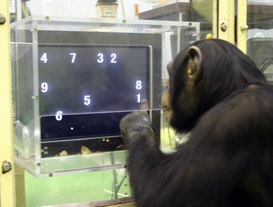 A chimpanzee named Ayumu performs a test in which he must recall the location of numbers.