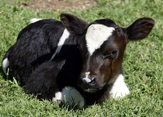 FDA says cloned animals safe to eat - The Boston Globe