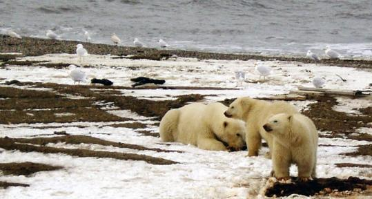 A polar bear sow and two cubs on the Beaufort Sea coast within the Arctic National Wildlife Refuge. Environmentalists say the bears are in danger of extinction because of climate change.