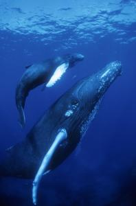 A 52-foot-long humpback whale and her newborn calf swim in the South Pacific atoll of Moorea in the Imax documentary.