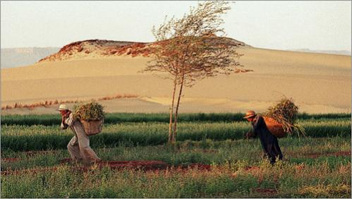 Brothers tend to their field in the middle of the Sahara desert in Dakhla, Egypt. About a decade ago the brothers dug a well and the endeavor proved successful enough for the land to become fertile.