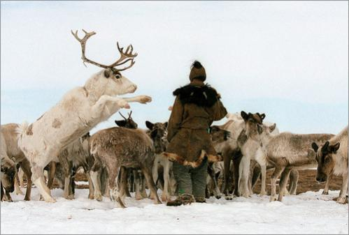 A herder north of Kamchalan, Russia, offers a sodium snack -- human urine in a tin cup -- to reindeer, which in turn jockey for position to get the treat.