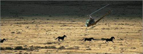 A BLM contractor uses a helicopter to herd wild horses at the Clan Alpine Herd Management area in Cold Springs, Nevada.