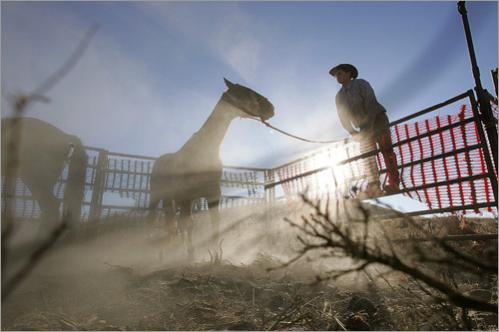 A BLM contractor secures the Judas horse after it led several dozen wild mustangs into a chute during a 'gather' at the Clan Alpine Mountain Herd Management area in Cold Springs, Nevada.