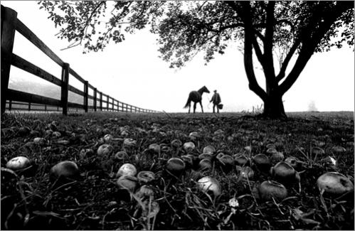 Buy this picture! Horse trainer feeds a horse in the fall under an apple tree in Georgetown.