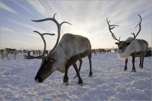 Reindeer graze outside a Nenets settlement near the remote village of Gornokniazevsk on the Yamal peninsula above the Arctic Circle some 1,240 miles northeast of Moscow.