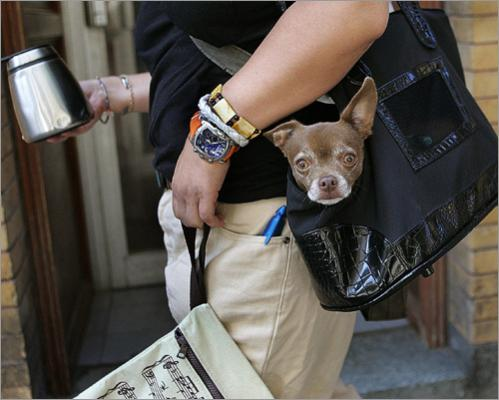 Yumi Ohi carries his chihuahua Odi in a bag during a walk in the Beacon Hill neighborhood of Boston.