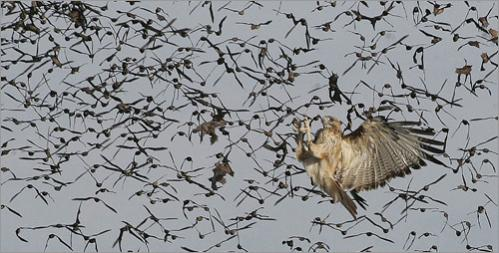 A red-tailed hawk uses the sharp talons on its feet to to grab a meal as a cloud of Brazilian free-tailed bats emerges in the late afternoon from Frio Cave near Uvalde, Texas.