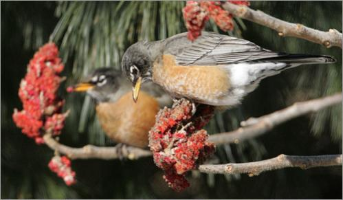 Two American robins find a sunny spot out of the cutting wind to feed on berries of staghorn sumac in Danvers, MA. Every winter hardy robins that breed north of Massachusetts winter in the Boston area, causing people to erroneously think spring is arriving.